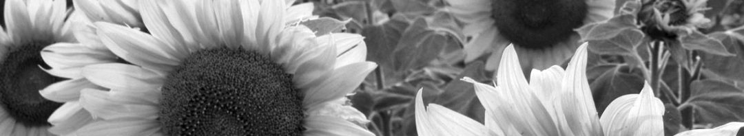 Sonnenblume sw
